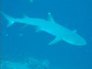 Sipadan sharks